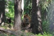 Volpe nel bosco